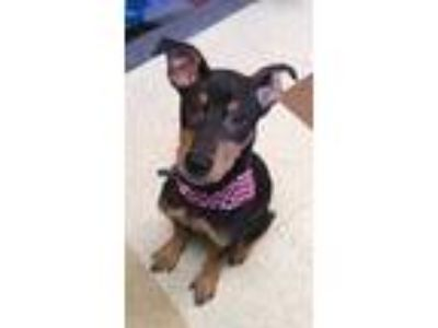Adopt George a Brown/Chocolate Doberman Pinscher / Mixed dog in Mesquite