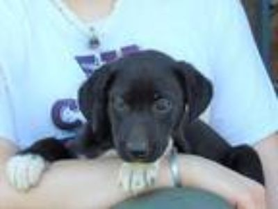 Adopt Frannie a Black - with White Labrador Retriever / Anatolian Shepherd /