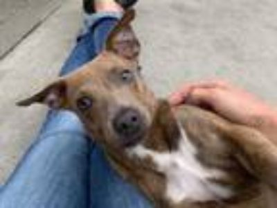 Adopt LENNY* a Brown/Chocolate - with White Hound (Unknown Type) / Mixed dog in