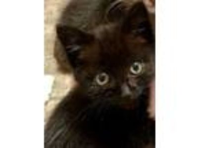 Adopt Shadow a All Black Domestic Shorthair (short coat) cat in Chicago
