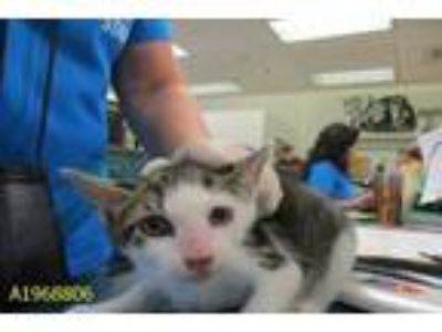 Adopt MISS MEOW a Domestic Short Hair