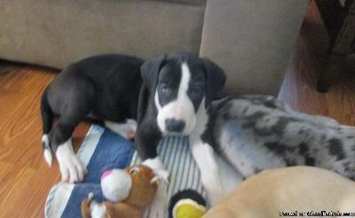 EQAW Adorable M/F AKC Great Dane Puppies