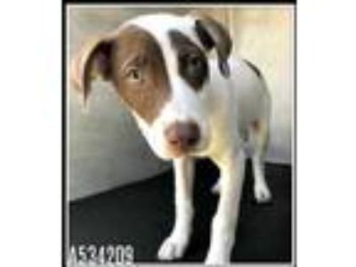 Adopt LOU a White - with Brown or Chocolate Labrador Retriever / Mixed dog in