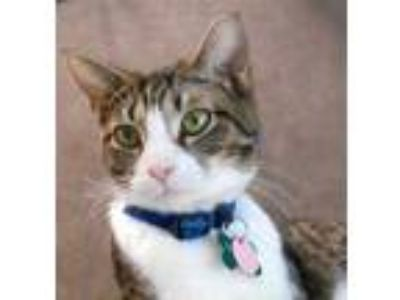 Adopt Calla a White Domestic Shorthair / Domestic Shorthair / Mixed cat in