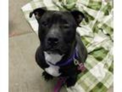 Adopt Guppy a Pit Bull Terrier, Mixed Breed