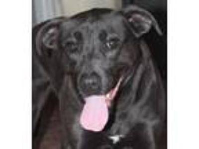 Adopt McCoy a Labrador Retriever, Pit Bull Terrier
