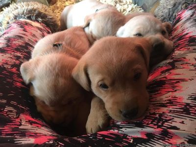 labradoodle puppies ready for their forever loving homes.