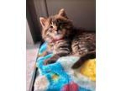 Adopt Mousse a Brown Tabby Maine Coon / Mixed (medium coat) cat in Dallas