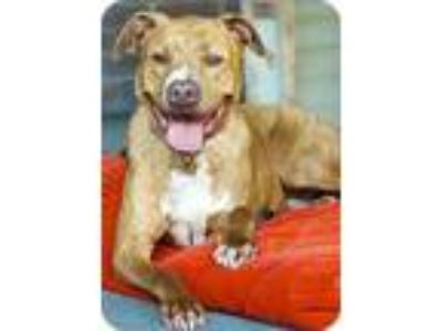 Adopt Bosco a Red/Golden/Orange/Chestnut - with White American Pit Bull Terrier