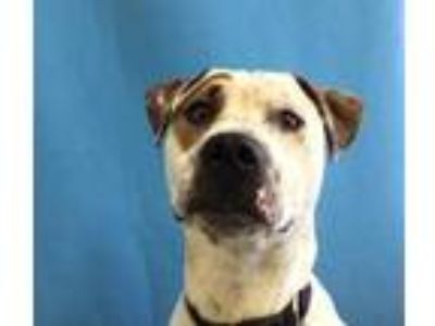 Adopt Pirate Pete a White American Pit Bull Terrier / Mixed dog in St.