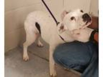 Adopt Jasmin a White Pit Bull Terrier dog in Weatherford, TX (25343491)