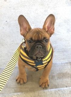 French Bulldog PUPPY FOR SALE ADN-78622 - CHILI Red Fawn Hungarian FRENCH BULLDOG
