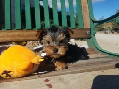 Yorkshire Terrier PUPPY FOR SALE ADN-108140 - Gorgeous Yorkie Girl