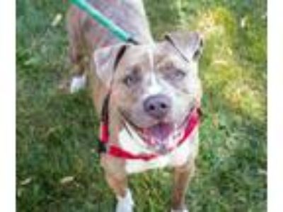 Adopt Dutchess a Brindle American Staffordshire Terrier / Mixed dog in Oak Pak