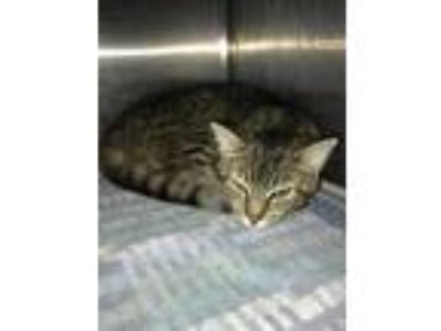 Adopt Grover a Gray or Blue Domestic Shorthair / Domestic Shorthair / Mixed cat