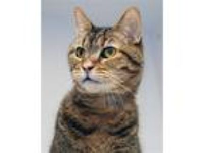 Adopt Teddie a Domestic Shorthair / Mixed (short coat) cat in Novato