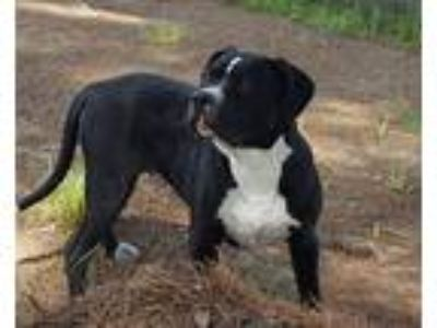 Adopt Buckey a Black - with White Pit Bull Terrier / Mixed dog in Boston