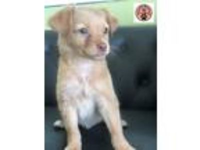 Adopt Cinnamon a Red/Golden/Orange/Chestnut - with Black Terrier (Unknown Type
