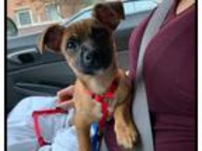 Adopt Big Mac $400 a Terrier (Unknown Type, Small) / Mixed dog in Milwaukee