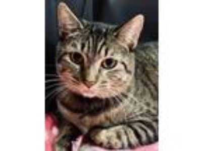 Adopt Callie a Gray or Blue Domestic Shorthair / Mixed (short coat) cat in Queen