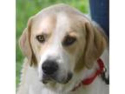 Adopt Harry a White - with Tan, Yellow or Fawn Great Pyrenees / Mixed dog in