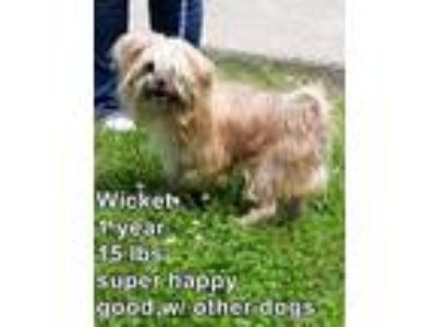 Adopt Wickett a Lhasa Apso / Mixed dog in Homer Glen, IL (25241215)