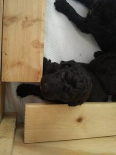 Poodle (Standard) PUPPY FOR SALE ADN-79109 - AKC Standard Poodle Puppies