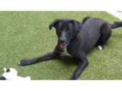 Adopt SIR a Black - with White Labrador Retriever / Mixed dog in Minneapolis