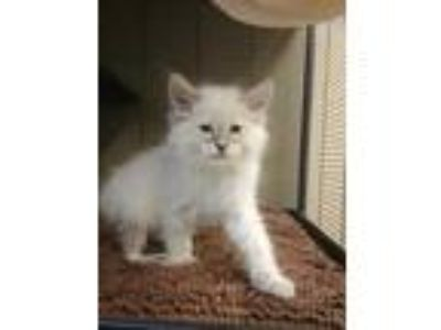 Adopt Phil a Cream or Ivory Domestic Shorthair / Domestic Shorthair / Mixed cat