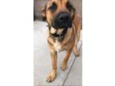 Adopt Chester a Red/Golden/Orange/Chestnut German Shepherd Dog / Mixed dog in
