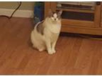 Adopt Maddox a White (Mostly) Siamese / Mixed cat in Hanford, CA (21992938)