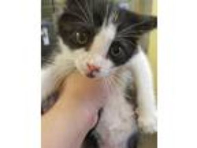 Adopt *DARCY a Black & White or Tuxedo Domestic Shorthair / Mixed (short coat)