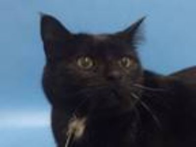 Adopt Pinky a Domestic Short Hair