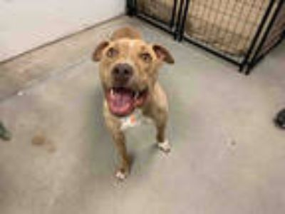 Adopt NALA a Tan/Yellow/Fawn American Pit Bull Terrier / Mixed dog in Brighton