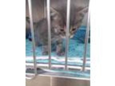 Adopt Kitten a Gray or Blue Domestic Shorthair / Domestic Shorthair / Mixed cat