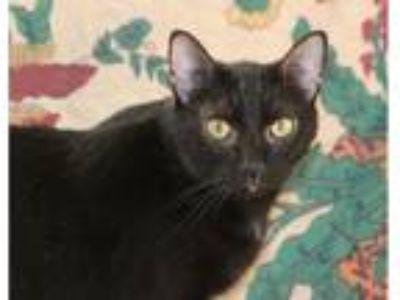Adopt Diesel a All Black American Shorthair (short coat) cat in Murfreesboro
