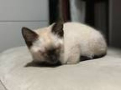 Adopt Persy a Tan or Fawn Siamese cat in Pacific Palisades, CA (25535860)