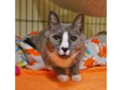 Adopt Keegan a Domestic Short Hair