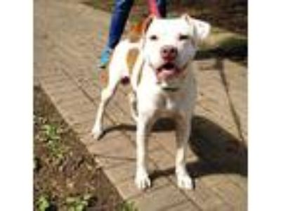Adopt Thor a American Pit Bull Terrier / Mixed dog in Charlottesville