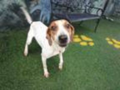 Adopt DIXIE a Hound, Mixed Breed
