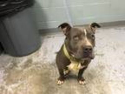 Adopt bella a Staffordshire Bull Terrier, Mixed Breed