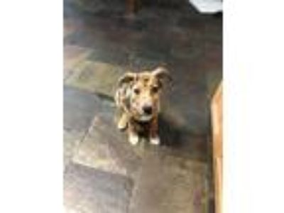 Adopt Rosie a Brindle - with White Australian Shepherd / Labrador Retriever dog