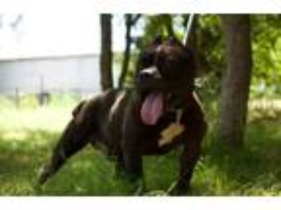 Adopt *Tooth a Pit Bull Terrier