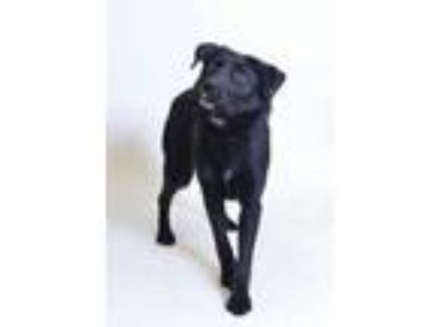Adopt 58900 Olive a Black Labrador Retriever / Mixed dog in Spanish Fork