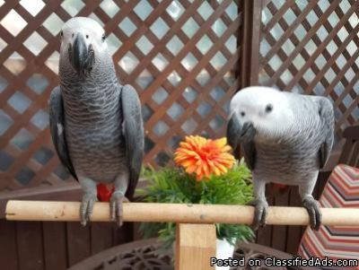 HAND REARED TALKING BABY CONGO AFRICAN GREY PARROT