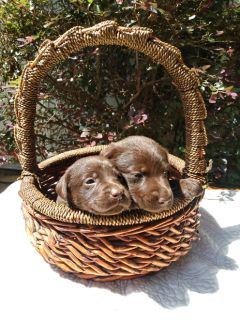 Choc lab puppies