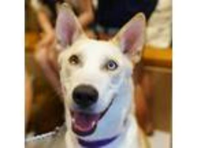 Adopt Nick Carter a White - with Tan, Yellow or Fawn Siberian Husky dog in New