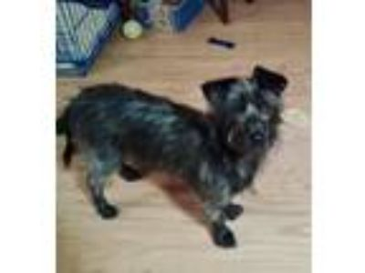 Adopt Willy a Cairn Terrier, Dachshund