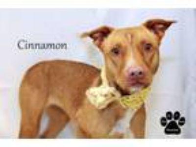 Adopt Cinnamon a Terrier