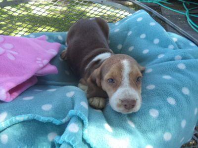 Beagle PUPPY FOR SALE ADN-96224 - Emmy Lous Female 1
